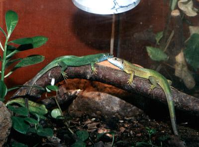 Террариум своими руками для ящерицы прыткой